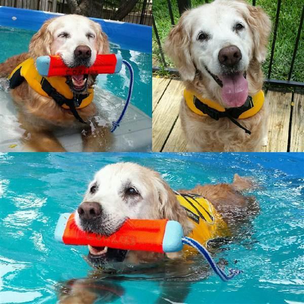 Bretagne the last 911 rescue dog swimming