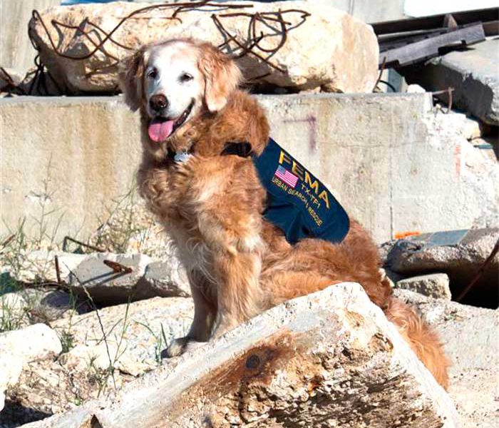 Bretagne 911 Search Dog