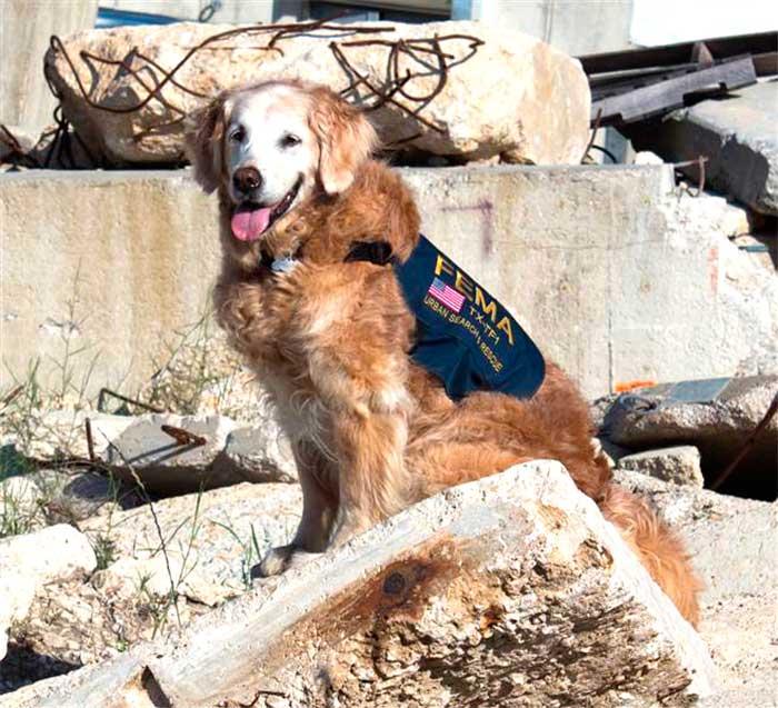 Bretagne 911 Search Dog