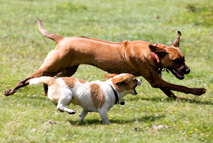 How Big Should A Dog Run Be For A Labrador