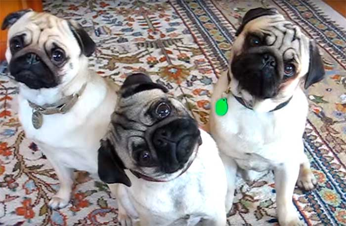 funny-pug-videos-featured