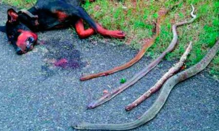 Doberman kills 4 cobras